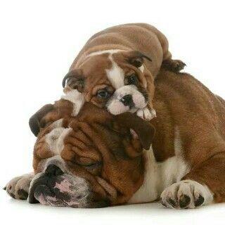 Bul Dog Cute Bulldogs Cute Animals