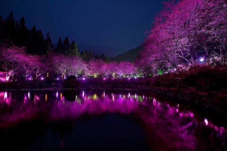 Google Cherry Blossom Cherry Blossom Festival Cherry Blossom Tree