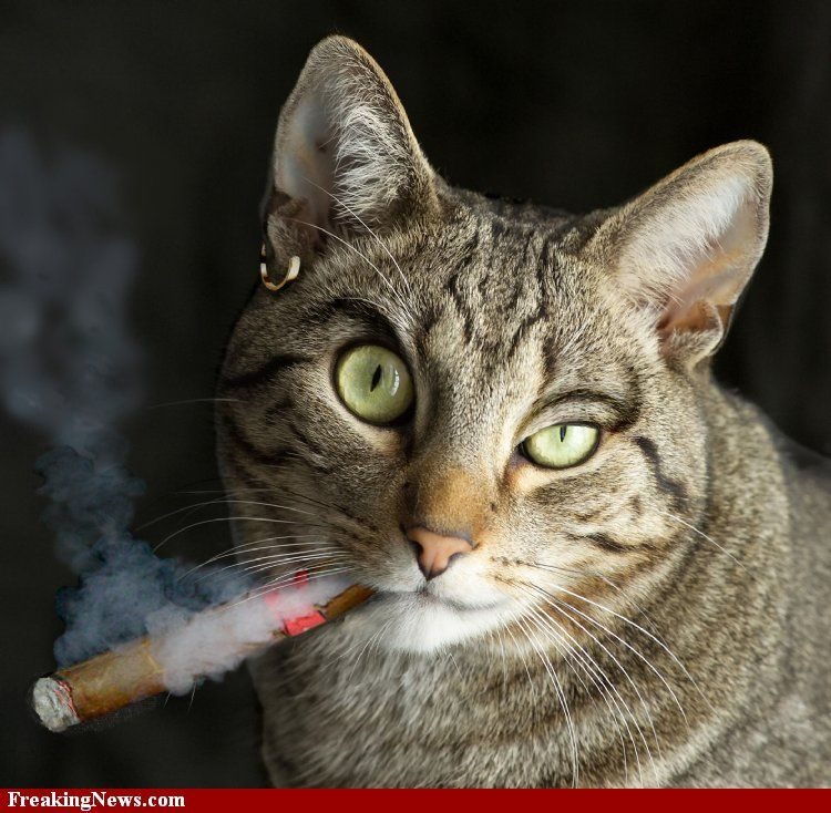 This cat is smoking a cigar and looks mad.