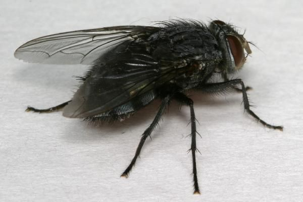Small Black Fly Large Black Flies In House Black Fly Fly Traps