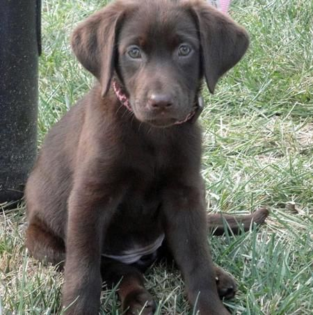 Via The Daily Puppy Puppy Breed Labrador Retriever Hi My Name Is Cabell My Mom And Dad Na Labrador Retriever Labrador Retriever Puppies Labrador