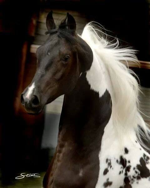 Gorgeous horse. I can't be sure of the color, but it seems to be some sort of Piebald, pintaloosa, manchado, or something else.