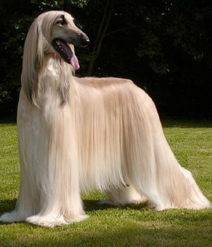 Afghan Hound. Get a Free Consultation for your #large #dog #breed from our Friends at Nature's Select http://naturalpetfooddelivery.com/nsd/usa/free-consultation/