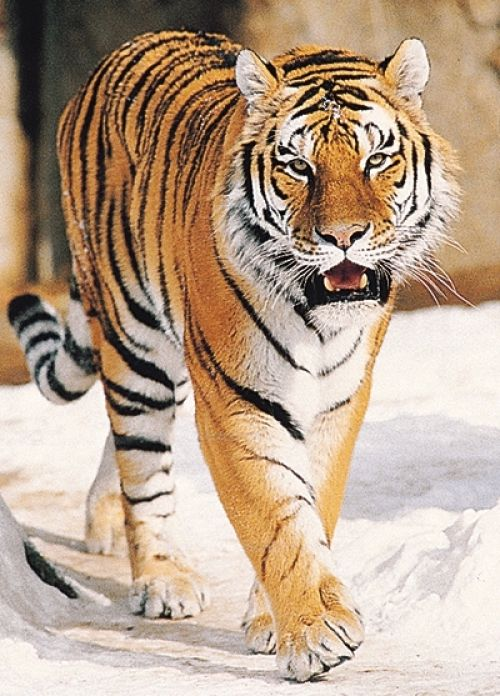 Delight And Desires Tiger Images Tiger Pictures Tiger Facts