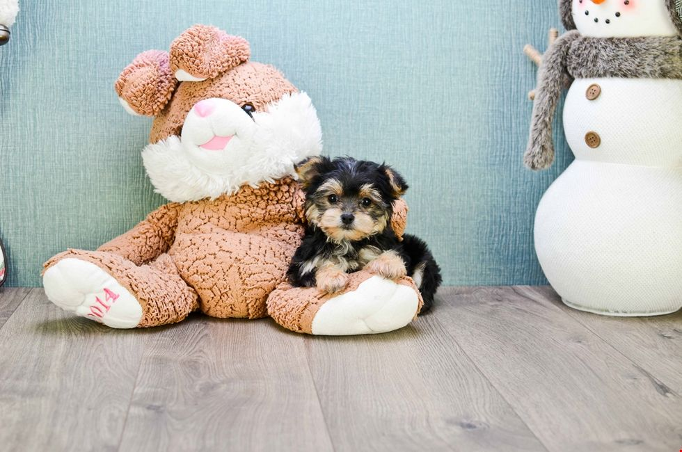 Morkie Puppies For Sale Ohio Morkie Pups Online Morkie