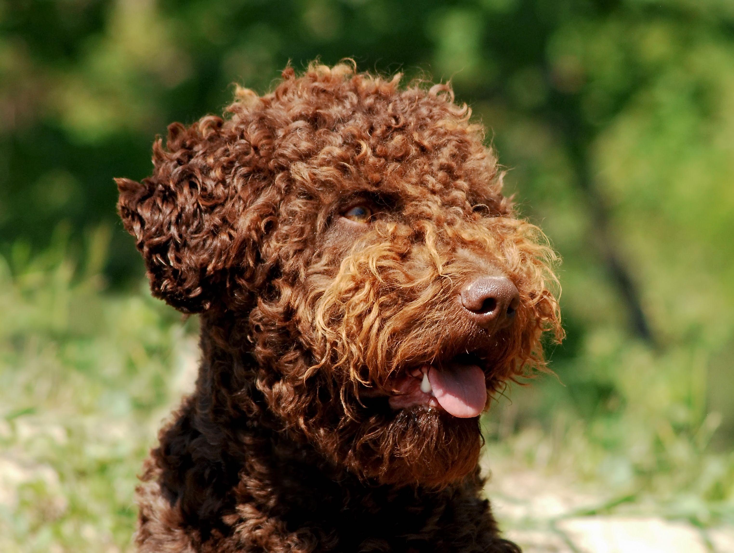 Italienischer Wasserhund Lagotto Romagnolo Im Portrait In 2020 Hunderassen Hunde Hunde Rassen