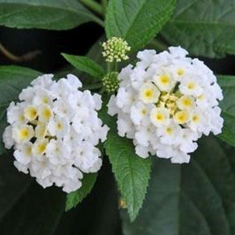 The Shocking Revelation Of Lantana Flower White Lantana Flower White Lantana Flower Lantana Plant Lantana