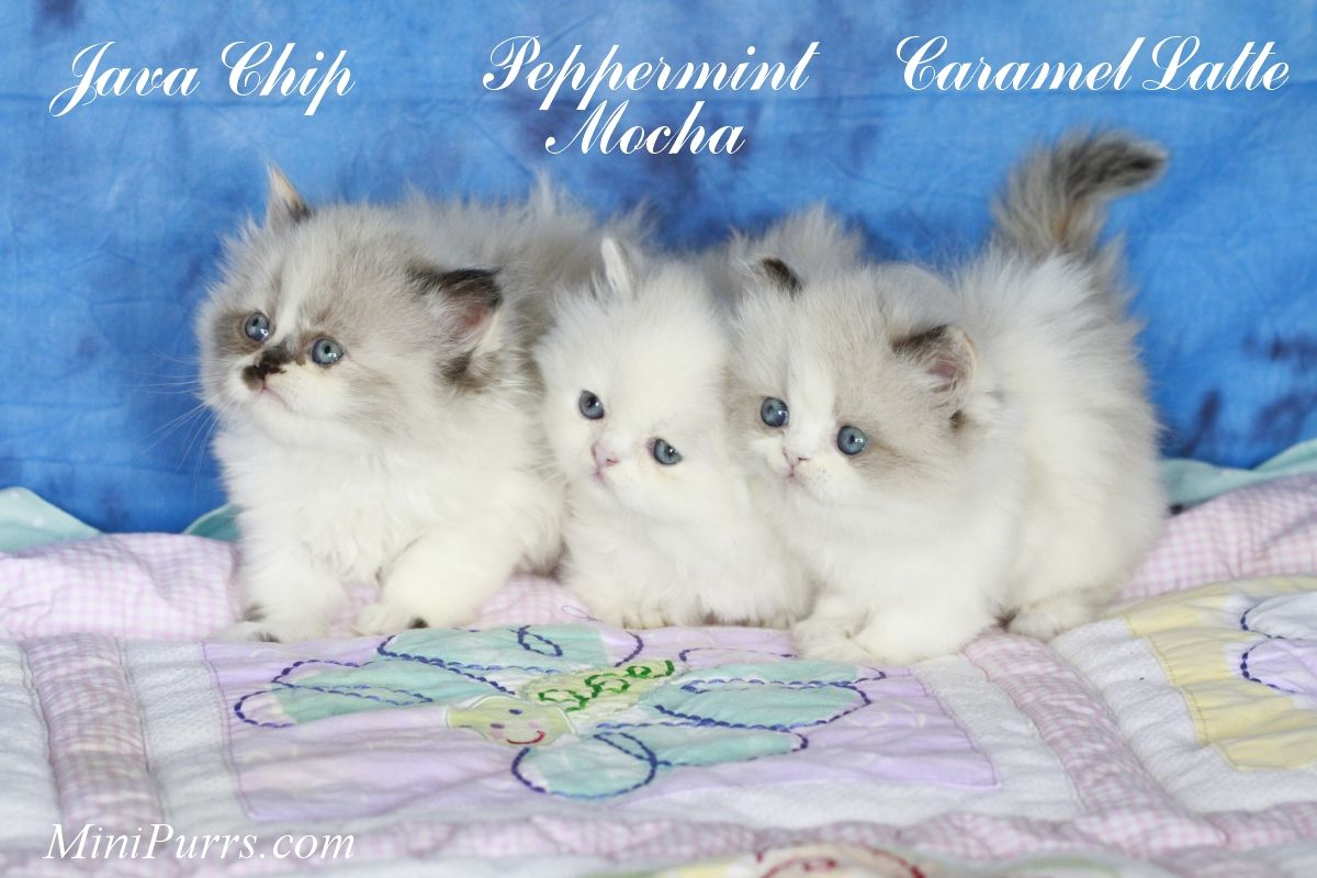mini persian kittens