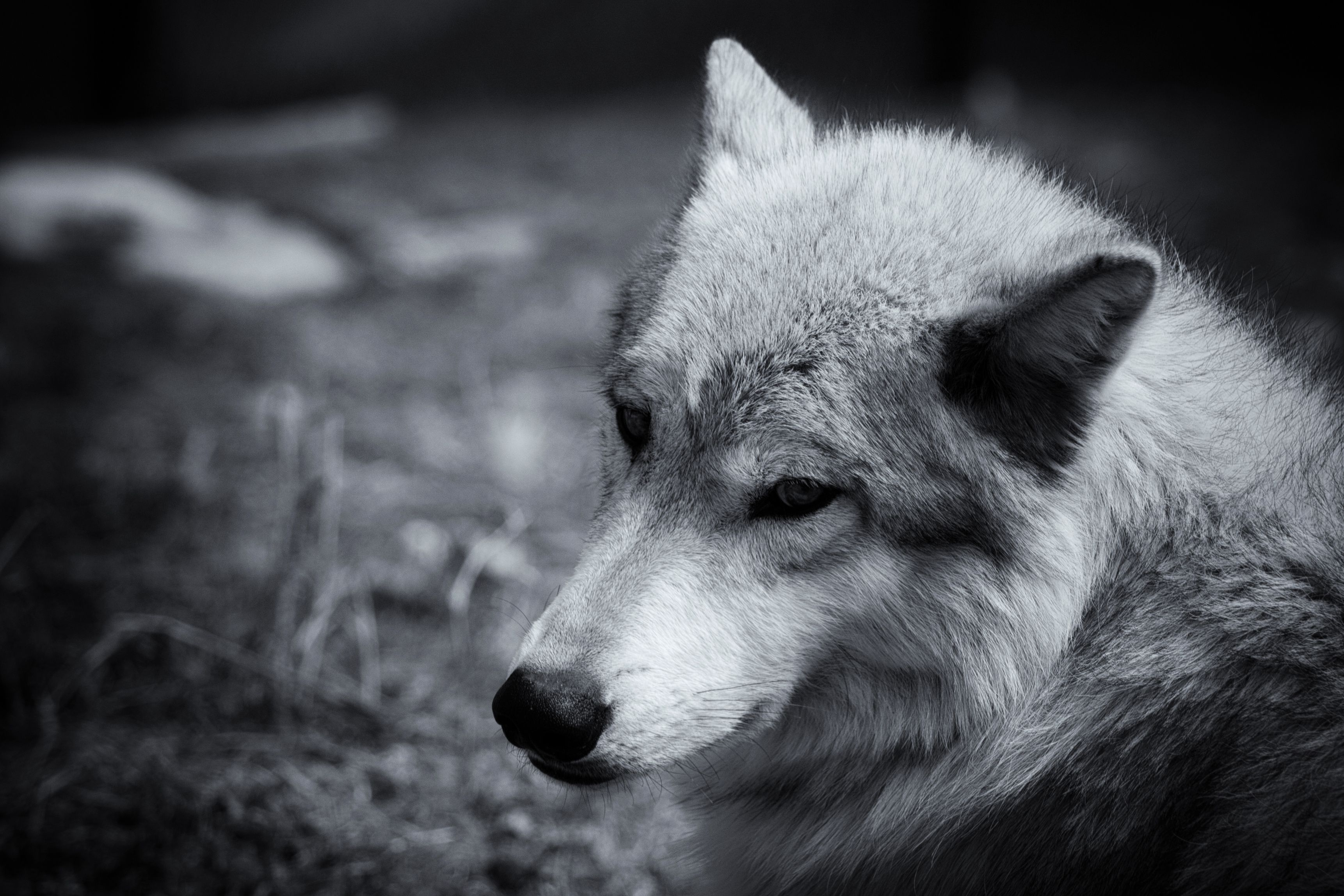 Gray Wolf Wolves Wallpaper 3444x2297 195950