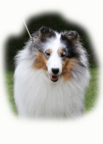 Ashlaur Shetland Sheepdogs Shelties Charleston West Virginia Sheltie Shetland Sheepdog Sheepdog