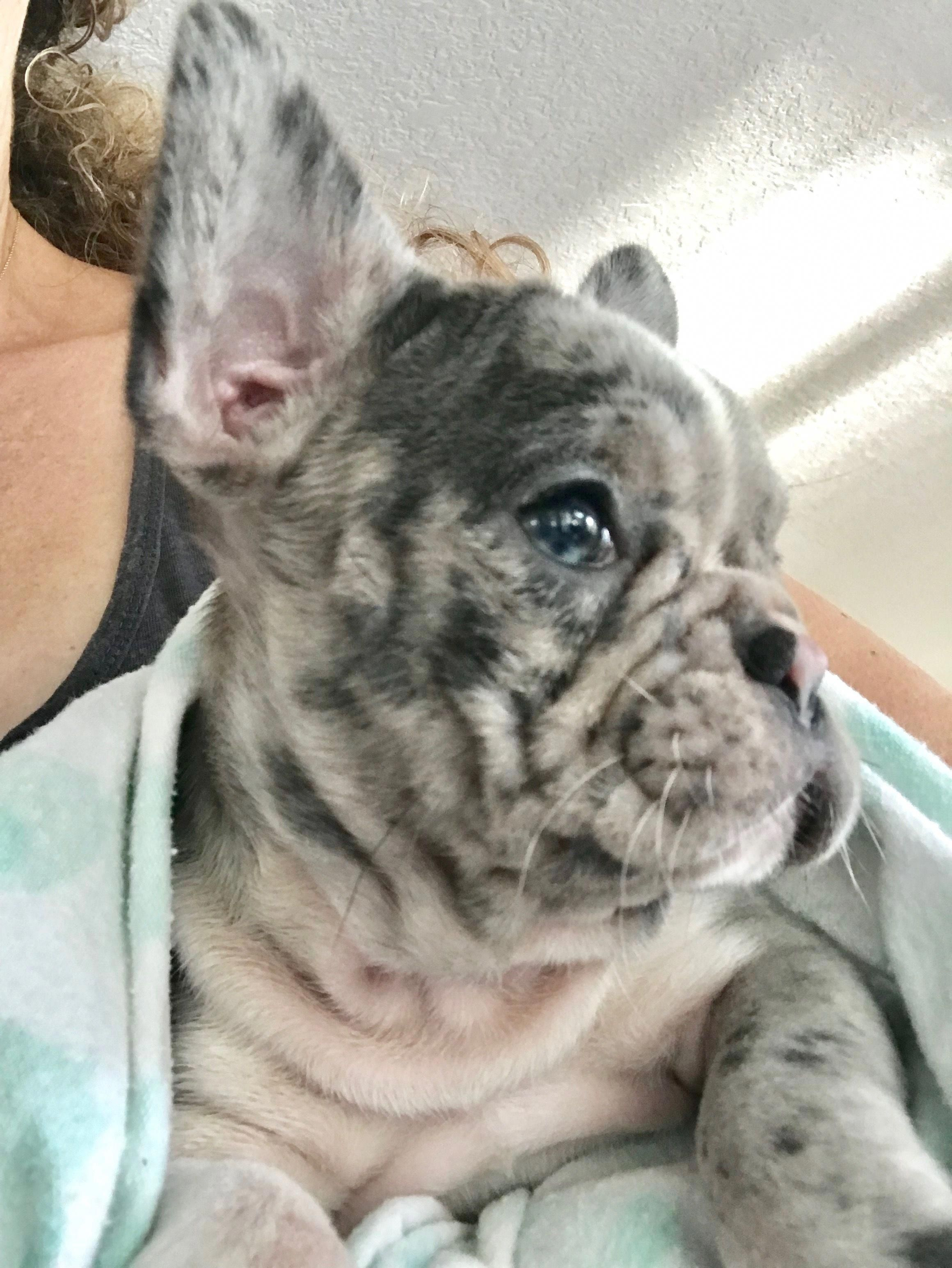 Bailey Getting Ready For Her Early Morning Flight To Her New Family Www Poeticfrenchbulldogs Com Frenc French Bulldog Puppies French Bulldog Cute Dogs