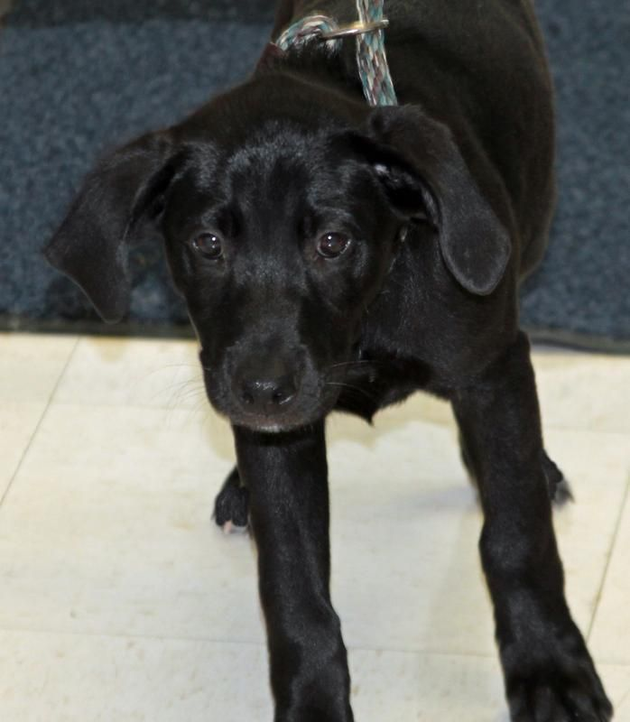 Meet Ellie A Petfinder Adoptable Labrador Retriever Dog Saint Joseph Mo Ellie Is One Of Three Ado Labrador Retriever Labrador Retriever Dog Black Lab Mix