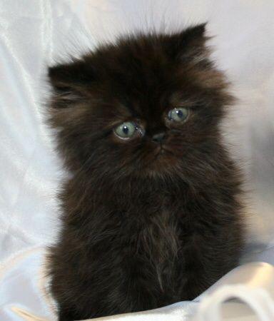 Beautiful Pure Female Persian Kitten Himalayan Cat Persian Kittens Cats