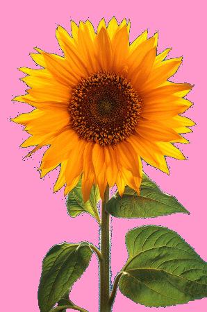 Tubes fleurs tournesol tournesols pinterest - Dessin de tournesol ...