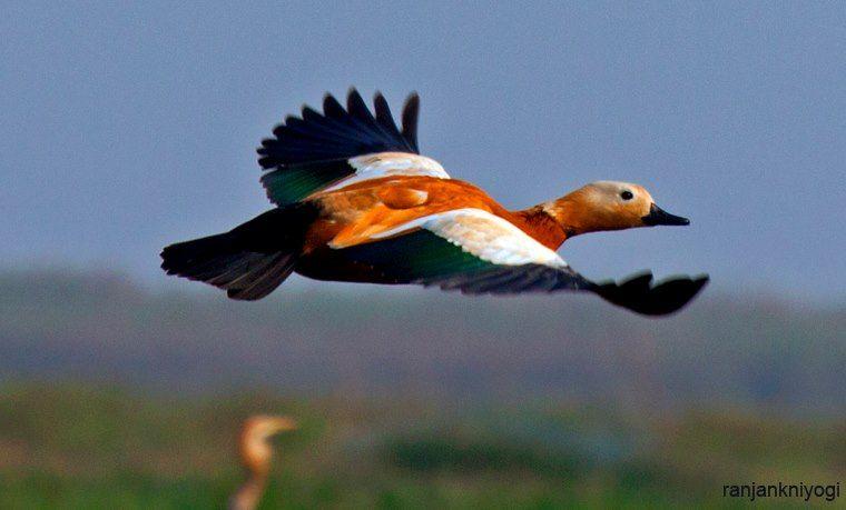 ruddy shell duck in flight...manglajodi,odisha