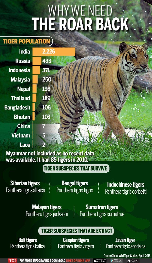 Why We Need The Roar Back Tiger Facts Save The Tiger