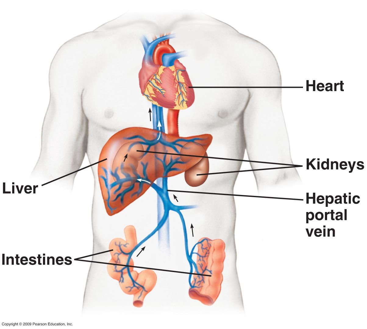 The portal vein is an important vessel of the human circulatory system