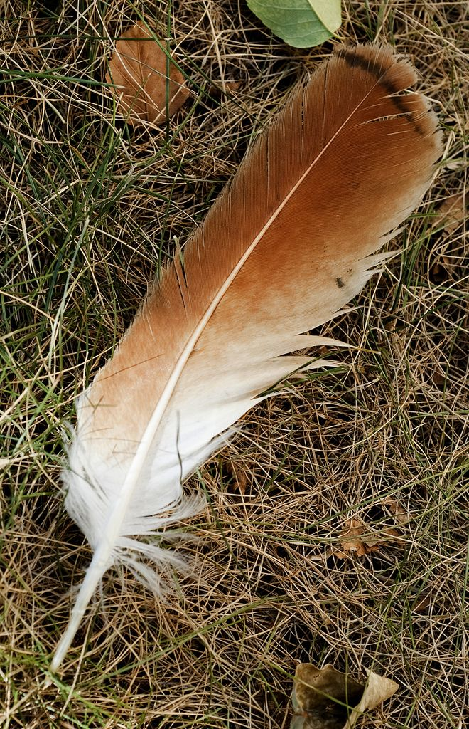 Tailed Hawk Feather