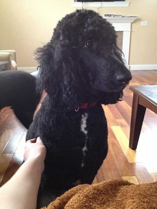Thunder Lightning Lost Two Black Male Standard Poodles Both