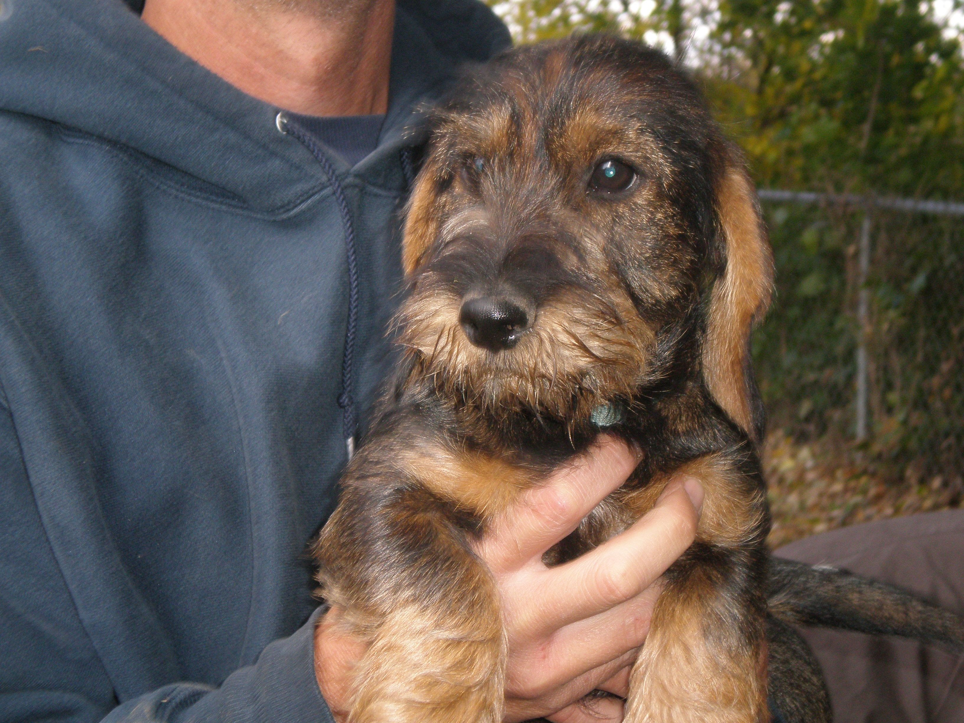 Hunting Wirehaired Dachshund Available With Images Wire Haired