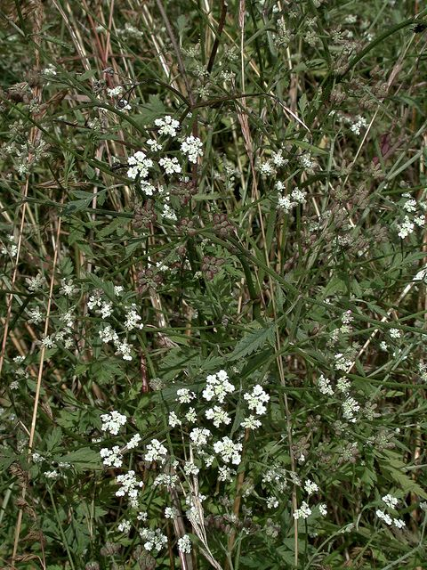 Torilis arvensis Spreading hedge-parley.  Suffolk BAP Plan  http://www.suffolkbiodiversity.org/content/suffolkbiodiversity.org/PDFs/action-plans/SpreadinghedgeParsley.pdf