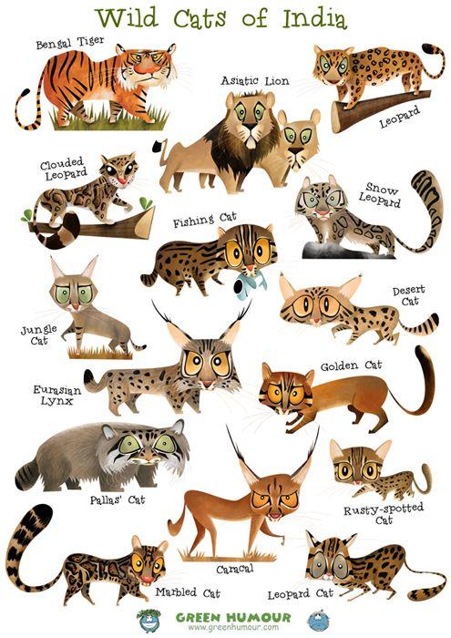 Wild Cats Of India Wild Cats Cat Posters Cat Species