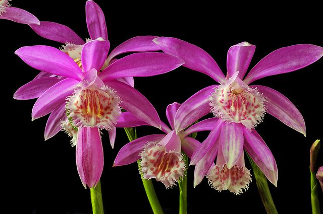 Pleione Formosana Water Culture Orchids Beautiful Orchids Orchids
