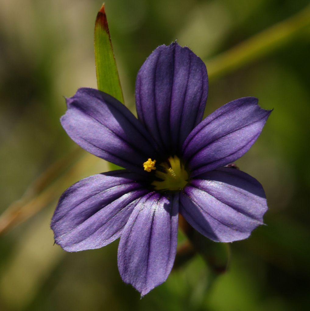Blueeyed grass 7 planting flowers purple flowers