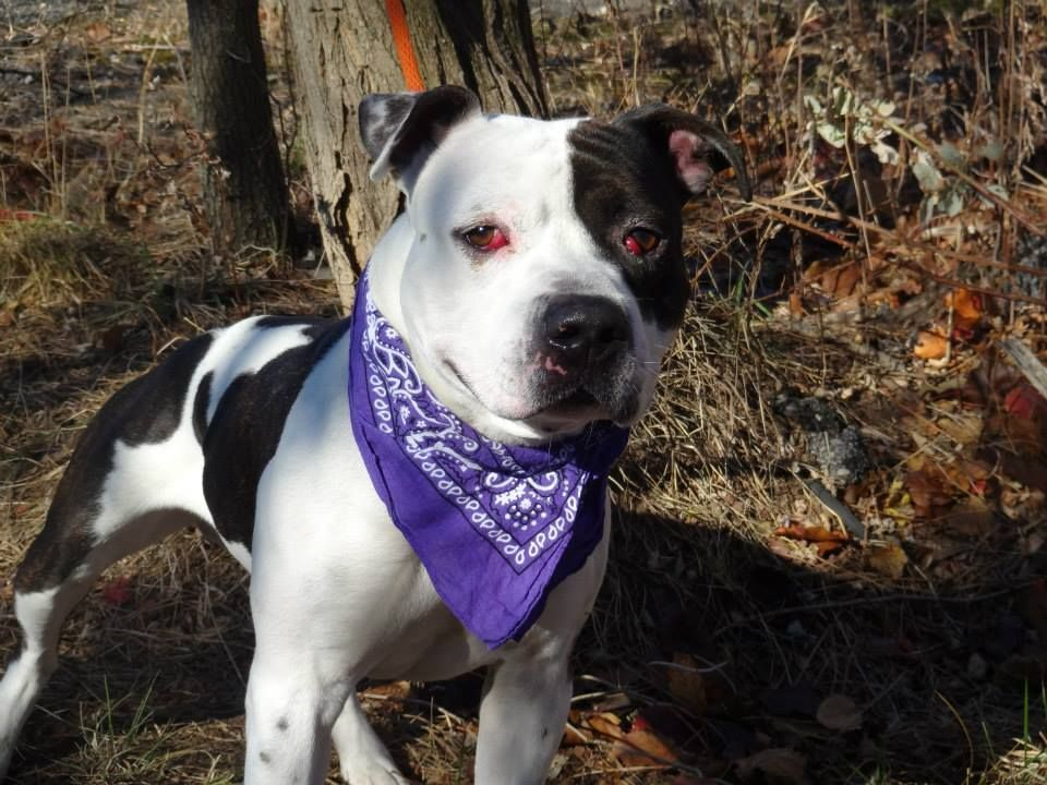 TO BE DESTROYED 12/3/13 Brklyn Ctr  CYCLONE  #A0985230  Male wht & blk pit mix 2 YRS STRAY11/17/13 LOVES people! Happy, affectionate, motivated to please! Good Samaritan said: likely house trained, jumps in car easily, knows basic commands, got along well w/ female pit bull, fearful of male dogs? He's so sweet and needs a home! Guarding w/ food-common w/ strays, retrainable!  Cyclone hopes you will open your heart & home to him, so he can be a loving member of your family for many years to…