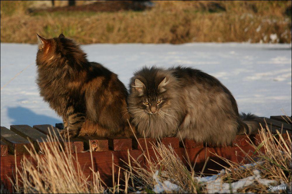 hach ... menno ... von Norwegische Waldkatze                                                                                                                                                                                 Mehr