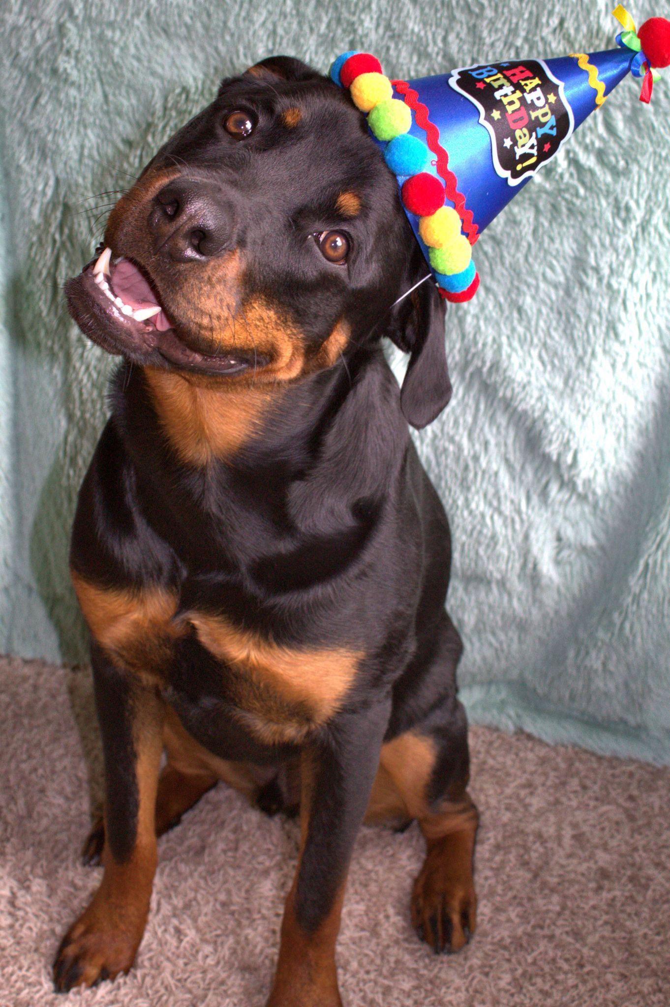 Rottweiler S 1st Birthday Rottweiler Dog Rottweiler Love Cute