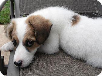 Memphis Tn Sheltie Shetland Sheepdog Mix Meet Shakira A Puppy For Adoption Http Www Adoptapet Com Pet 10874502 Memphis Shetland Sheepdog Sheltie Pets