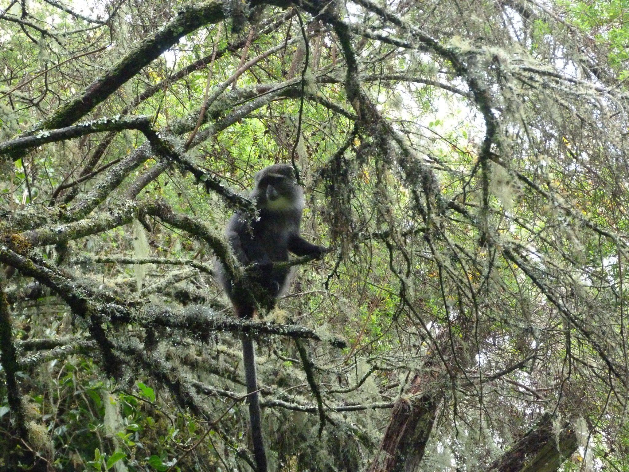 Blue monkey, Kilimanjaro Blue monkey, Kilimanjaro, Blue