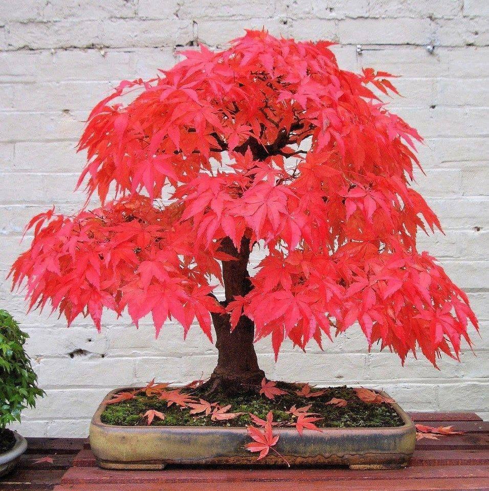Japanese Red Maple Bonsai