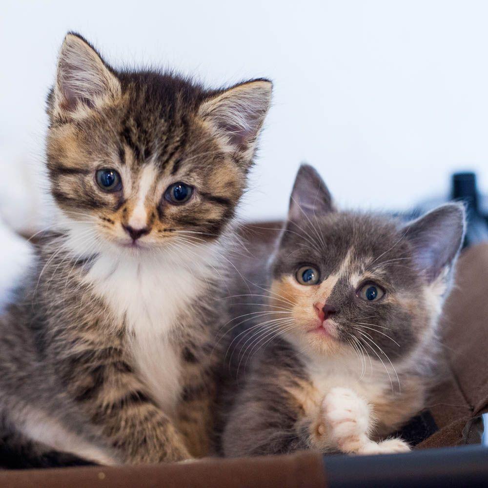 Cute Kitten Pair In 2020 Kittens Cutest Cat Lounge Cats