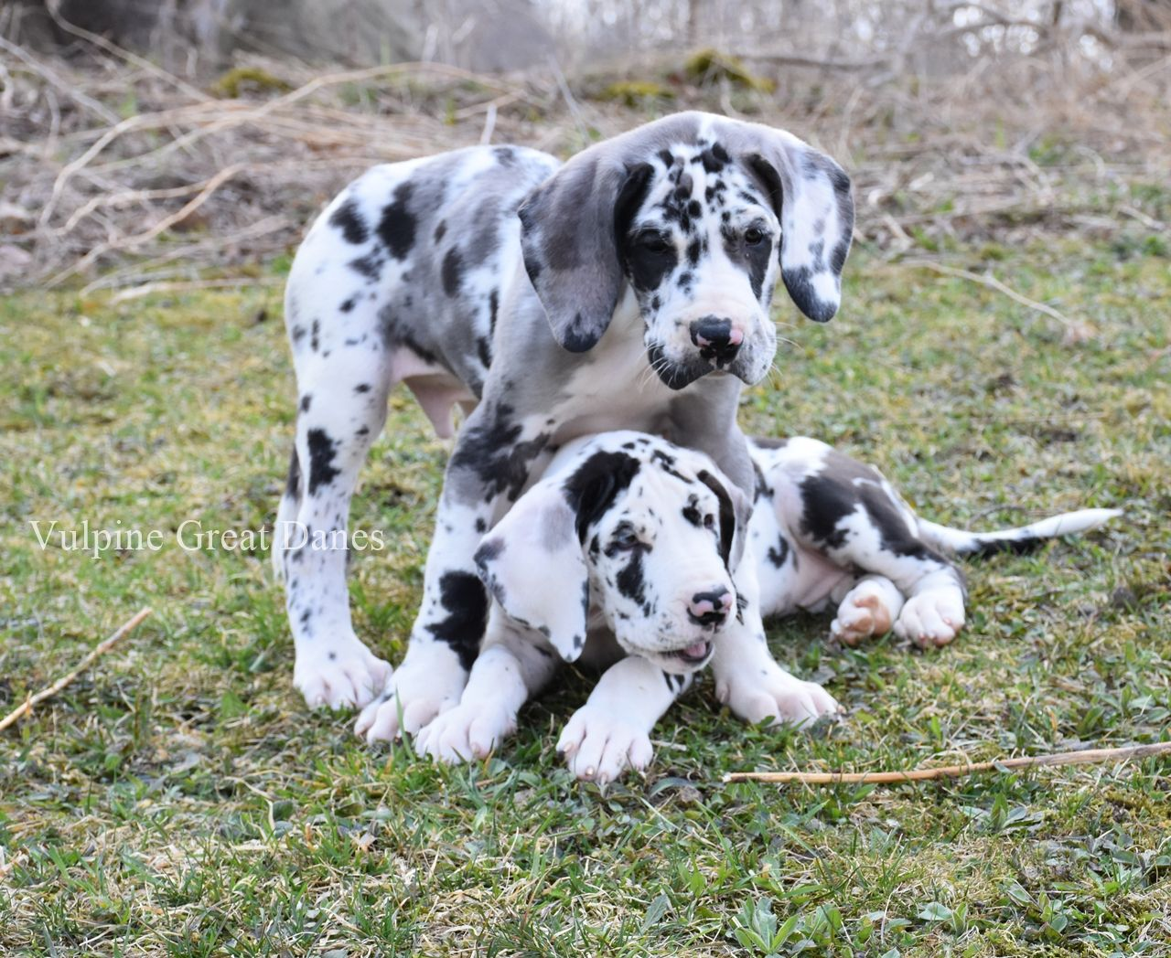 Brother And Sister Playing Great Dane Cute Dog Costumes