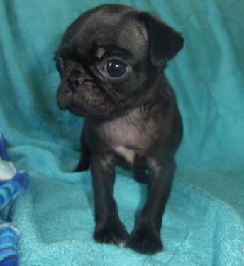 Female Pug Puppy For Sale 800 Pug Puppies For Sale Puppies