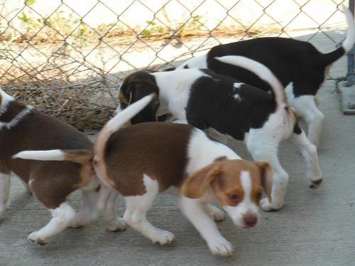 Beagle Puppies | Beagle puppy, Beagle, Puppies