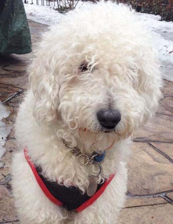 Adopt Mo Peeta Adopted On Petfinder Poodle Dog Dogs Adoption
