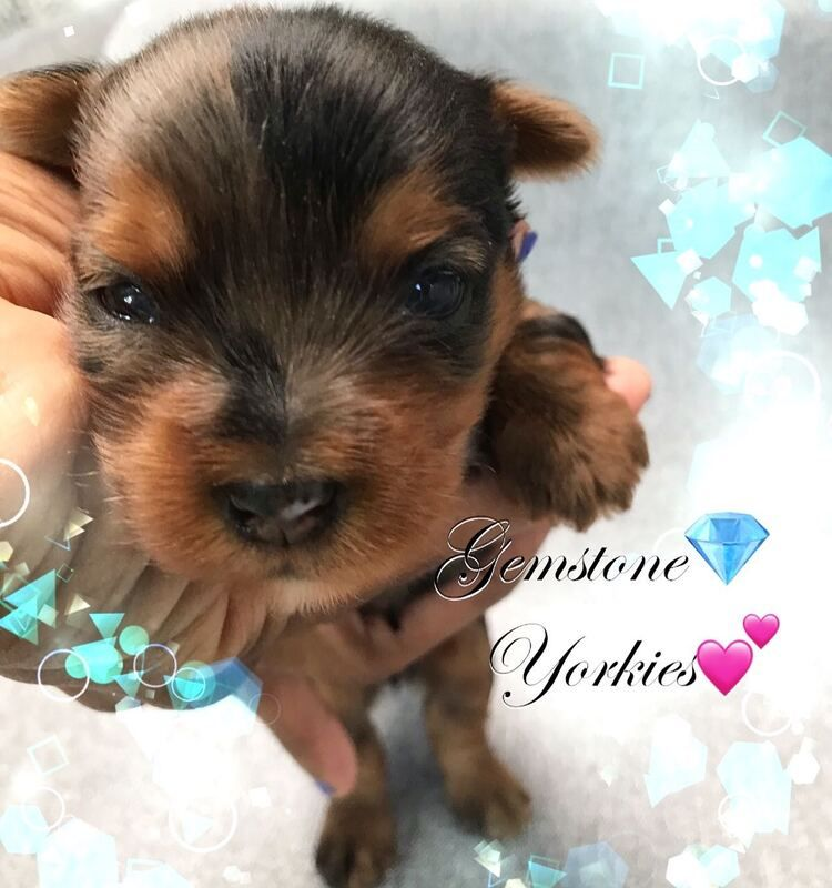 White Yorkie Puppies For Sale Near Me 2021