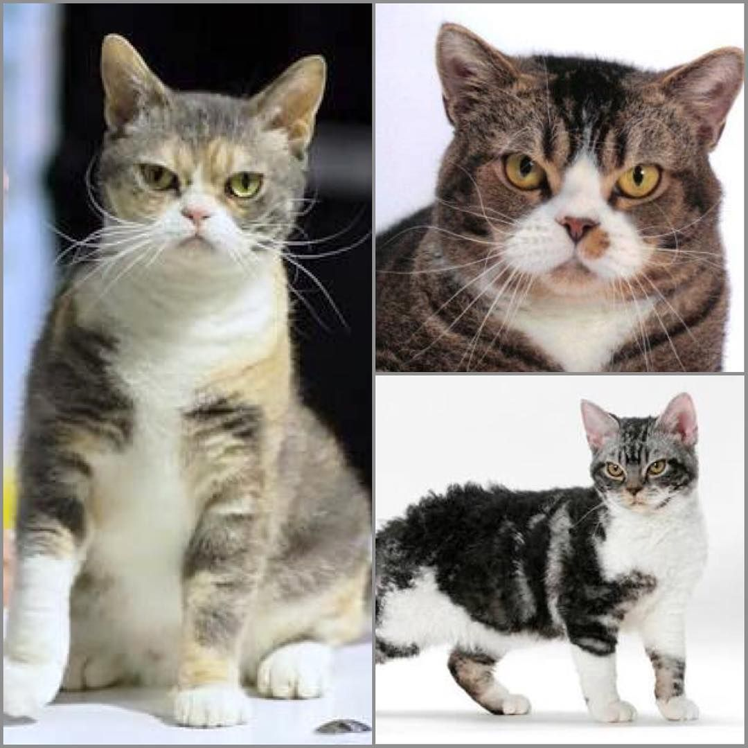 America Wirehair cat sure could give @realgrumpycat a run for his ...
