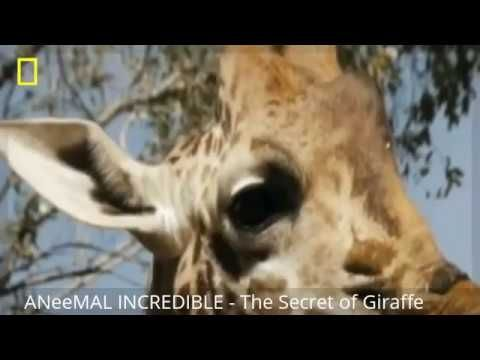 The Secret of Giraffe - NAT GEO SPECIAL DOCUMENTARY [HD]