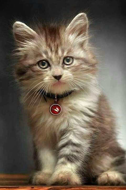Pin by Ahmad Afshar on Cat Kittens cutest, Cute cats