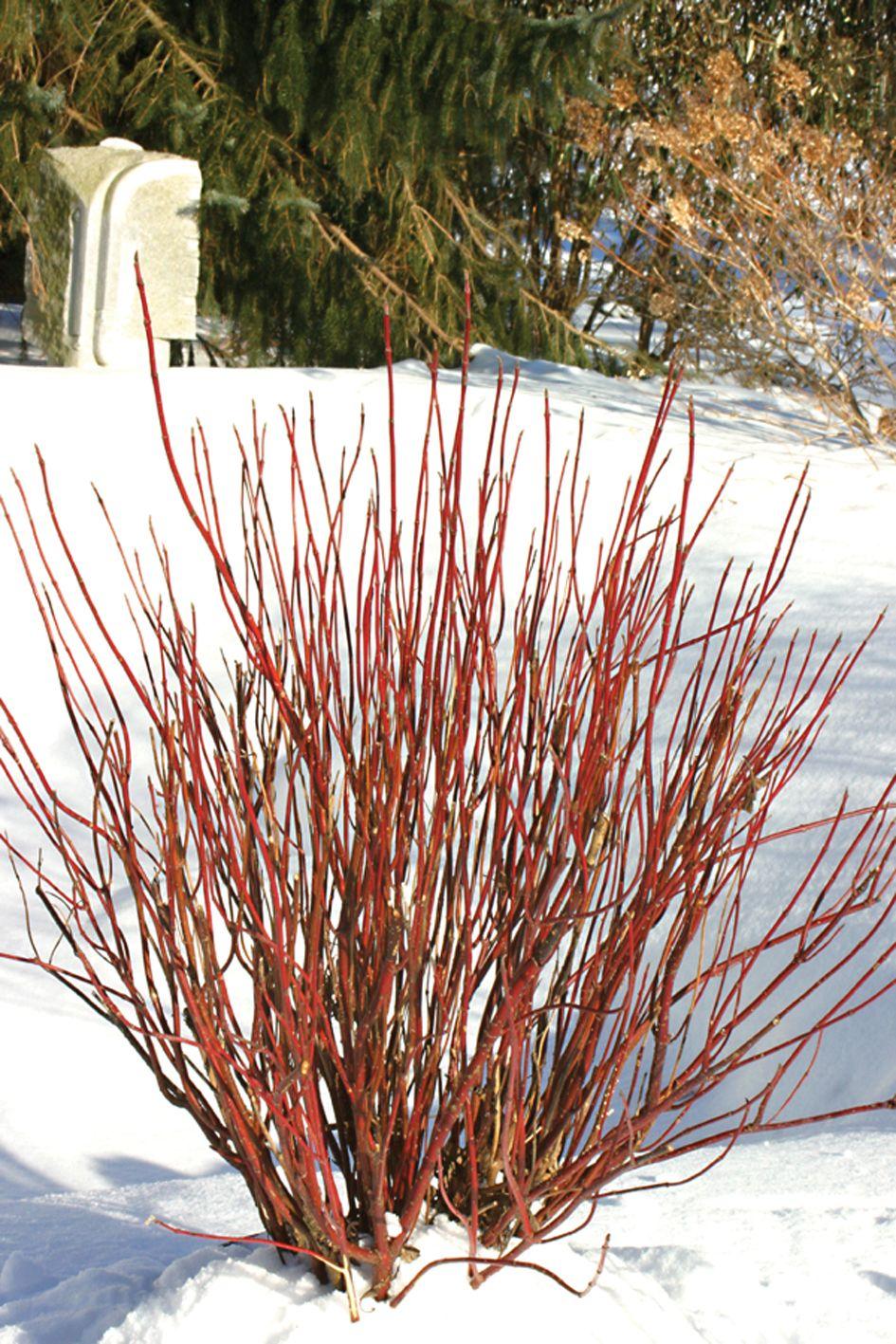 Arctic Fire® Red RedOsier Dogwood Cornus stolonifera