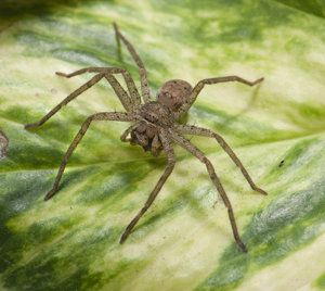 The Surprising Cause Of Most Spider Bites Spider Bites Spider Recluse Spider
