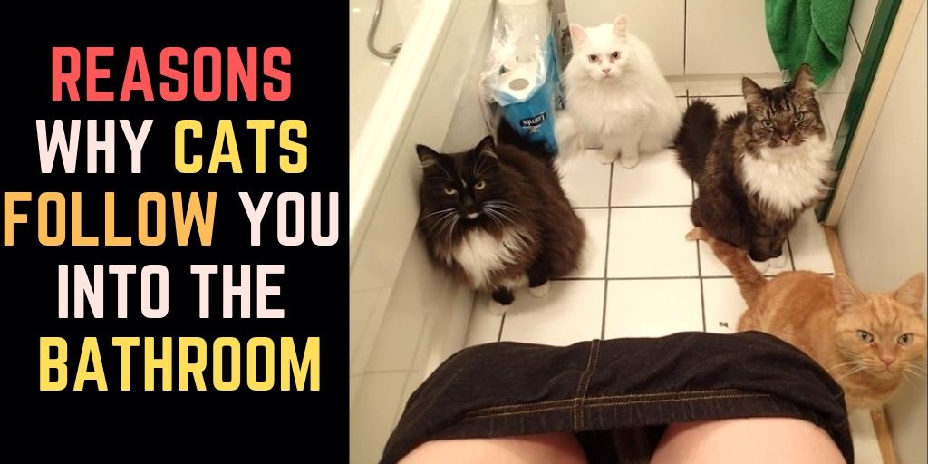 Why Do Cats Follow You Into The Bathroom Cats Cat Biting Cute Cats And Kittens