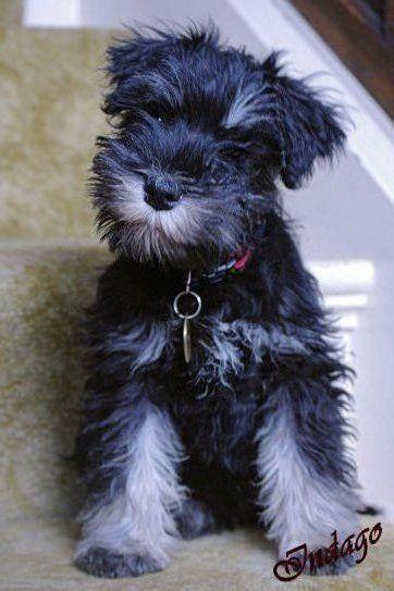 Http Indagodogphotography Co Uk Miniature Schnauzer Puppy