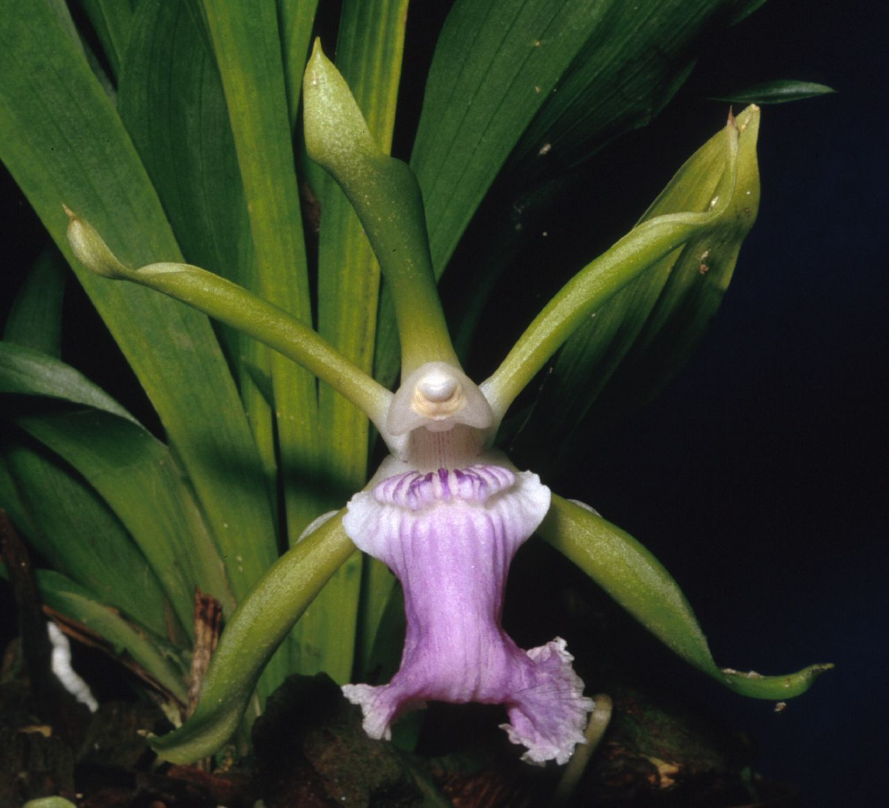 Cochleanthes aromatica orchid flowers pinterest orchid