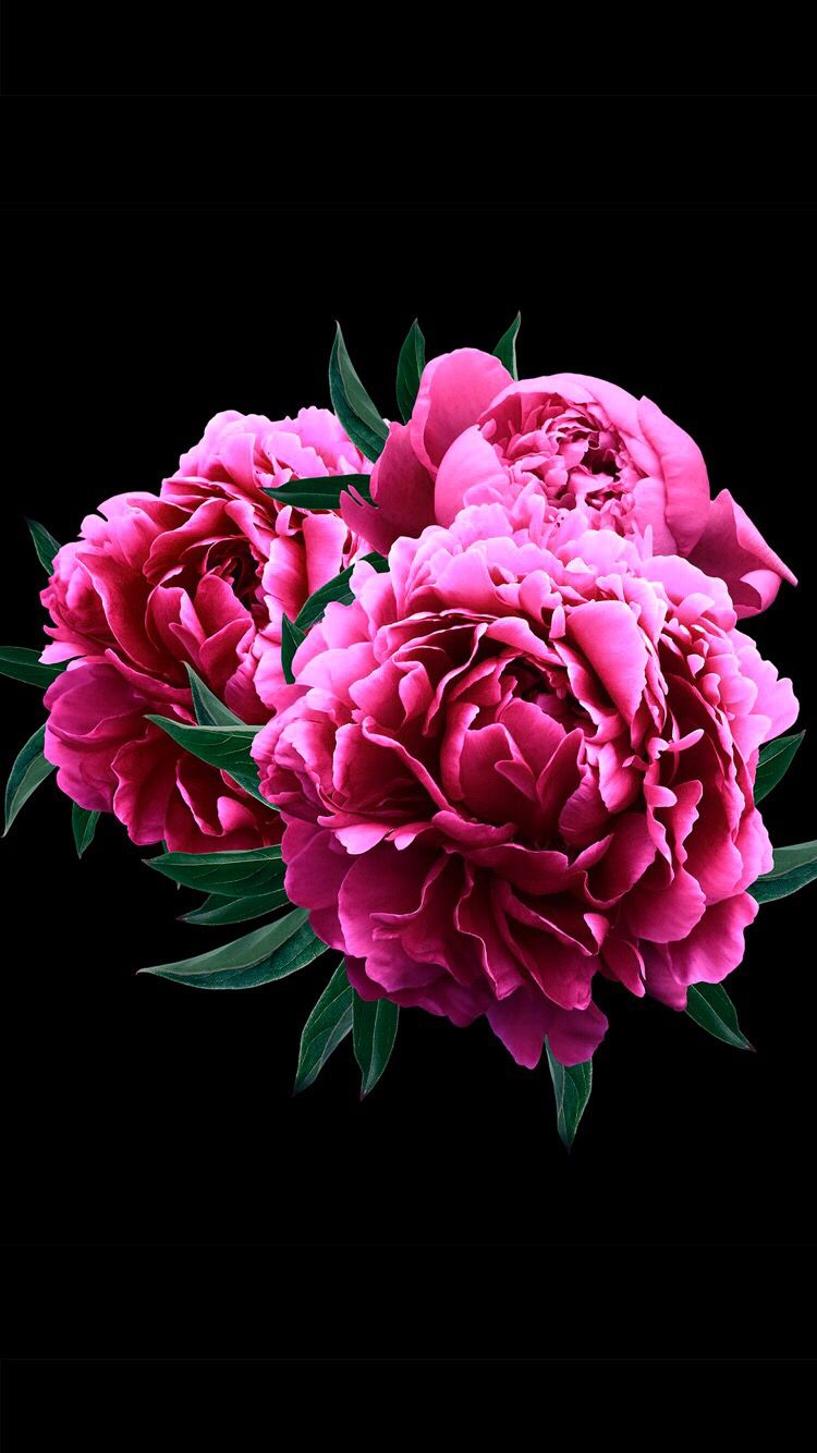 Peonies on black background for your iPhone XS Max from