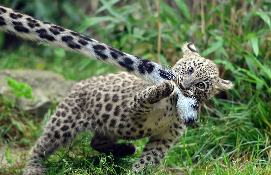 Why Do Snow Leopards Bite Their Tails We Have Adorable Pictures Cute Animals Animals Beautiful Baby Animals